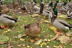 She-duck Royalty Free Stock Photo