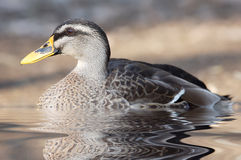 duck Fotografia Royalty Free