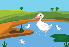 Duck. S are swimming in the swamps Stock Photography
