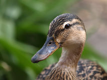Duck. Closeup of a female brown duck Stock Photo