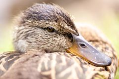 Duck. Lonely young duck waiting happiness royalty free stock image