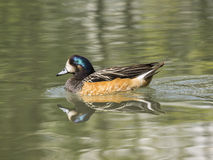 A duck. Swimming in the lake Royalty Free Stock Photo