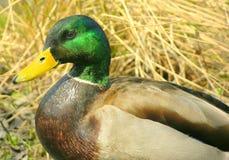Duck 3. Male mallard duck Royalty Free Stock Photography