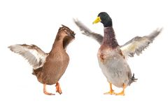 Free Duck Royalty Free Stock Photography - 32230707