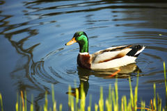 Free Duck Royalty Free Stock Image - 33196666