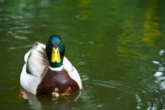 duck Obraz Stock
