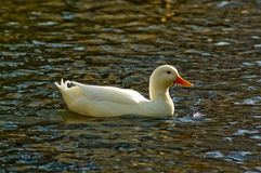 Duck. White duck in water, center Stock Images