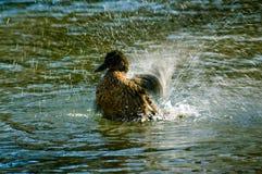 Duck. In water, splatting around stock image