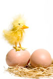 Duck. A fluffy duck standing on two eggs stock photos