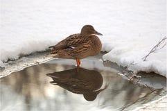Duck. Royalty Free Stock Photos