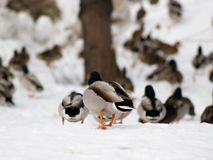 Duck. A group of ducks on the snow (E-1 + olympus zuiko 135mm F2.8 royalty free stock photography