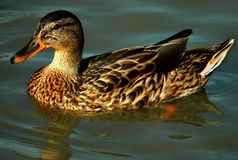 Duck. A duck swimming in the river Royalty Free Stock Photos
