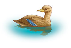 Duck. The brown duck is reflected in water Stock Photos