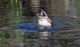 Free Duck Royalty Free Stock Photos - 58963228