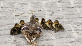 Duck and 6 Ducklings on Concrete Road during Daytime Royalty Free Stock Photo