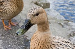 Duck. Next to river. Focus on head Royalty Free Stock Photo