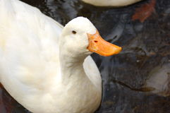 Duck Royalty Free Stock Photos