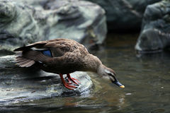 The duck. Hunting duck Royalty Free Stock Photography