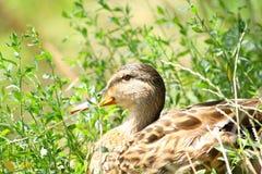 Duck. Resting among green plants Stock Photo