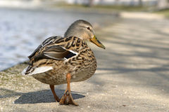 Duck. A cute duck going for a walk stock images