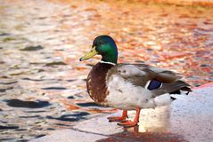 Duck. Standing on a side of a fountain Stock Images