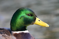Duck Royalty Free Stock Photo