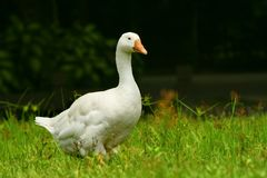 Free Duck Royalty Free Stock Photos - 7592278