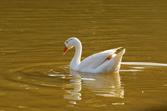 Free Duck Royalty Free Stock Photo - 7819675