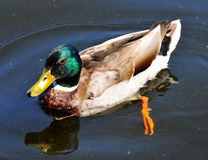 Duck. In the lake of Frederiksborg Castle in Denmark Royalty Free Stock Photo