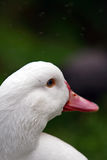 Duck. Portrait of the white-feathered duck stock image