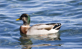 Duck. If it looks like a duck and sounds like a duck, it probably is a duck Royalty Free Stock Photos