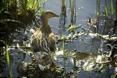 Duck. Sitting on a stone between water and grass Royalty Free Stock Images