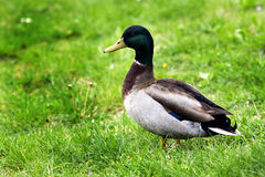 Duck. Wild duck seen by close Royalty Free Stock Photo