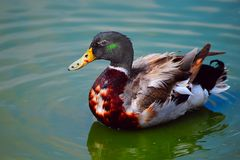 Duck. A Swimming Mallard Duck And His Reflection Stock Photo