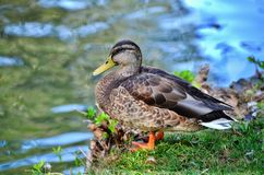 Duck. It is abundant in lakes, lagoons and wetlands natural or artificial, whatever its depth, extent and degree of humanization; It is a well-known duck, and it Royalty Free Stock Photos