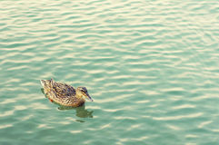 Duck against the turquoise sea Royalty Free Stock Photos