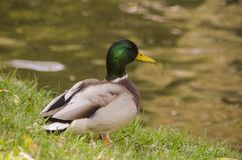 Duck al varón en el lago, sentándose en la hierba Foto de archivo libre de regalías