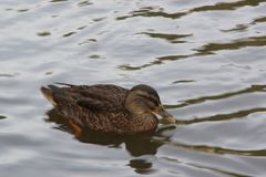 France - Elancourt - A It is a duck alone in the water - Side view. It is a duck alone in the water. He does not move, he gives the impression of thinking. He Stock Image