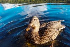 Duck. Amazing mallard duck on mountains lake stock photos