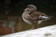 Duck Amazon (Amazonetta Brasiliensis) Stock Images
