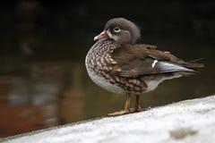 Duck Amazon (Amazonetta brasiliensis) Stock Images