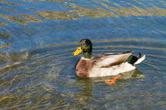 Duck ( Anas platyrhynchos). Close-uo of an duck (Duck ( Anas platyrhynchos) swimming in an pond Stock Image