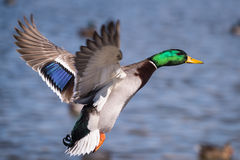 Duck at an Angle. Mallard drake coming in for a landing. (Anas platyrhynchos Stock Images