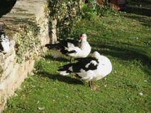 Duck animal of class Aves birds. Black and white duck animal of Phylum Chordata, Clade Ornithurae, Class Aves Birds royalty free stock photos