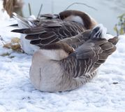Duck asleep in the snow in the winter Stock Photo