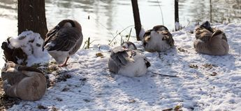 Duck asleep in the snow in the winter Royalty Free Stock Photo