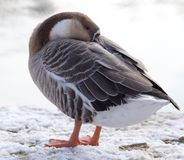 Duck asleep in the snow in the winter Royalty Free Stock Image