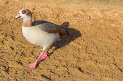 Duck At Hyde Park - London Royalty Free Stock Photography