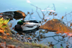 A duck in the autumn. Pond Stock Photo