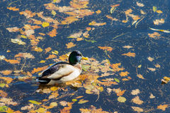 Duck in autumn day Stock Image